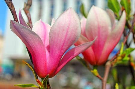 magnolia tree: Magnolia tree blossom on Teatralna square in Vinnytsia, Ukraine