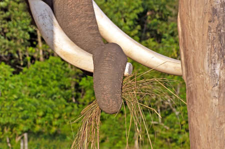 feed the poor: Close-up of an elephant trunk pulling grass in the breeding centre in Chitwan National Park, Nepal