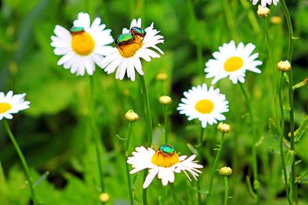 aurata: Bugs (Cetonia aurata) on chamomile in the garden Stock Photo