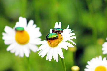 aurata: Two bugs (Cetonia aurata) on chamomile in the garden