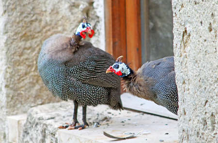 gelati: Guinea fowls near the window of orthodox monastery Gelati near Kutaisi, Georgia