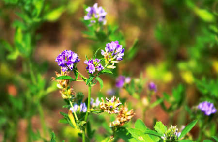 Alfalfa, Medicago sativa, also called lucerne, is a perennial flowering plant in the pea family Stock Photo