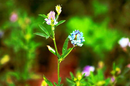medicago: Alfalfa, Medicago sativa, also called lucerne, is a perennial flowering plant in the pea family Stock Photo
