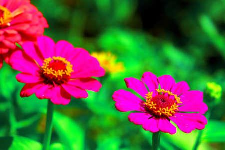 Daisy flower gerbera in the garden Stock Photo