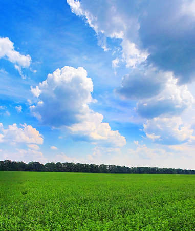 View of green lucerne field under blue sky