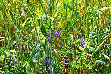 Little blue flowers in green wheat field