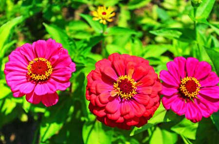 Daisy flowers gerbera in the garden