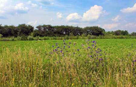 Bright blue cornflowers in the field