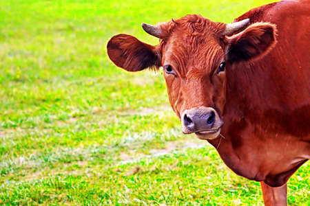 Cow graze on the grass in the summer