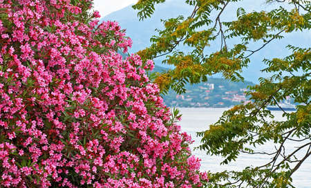 Pink bougainvillea flowers in Montenegro Stock Photo