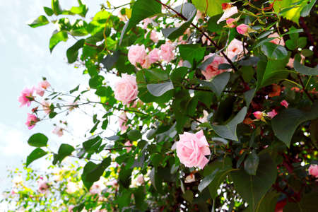 Delicate pink roses on the bush