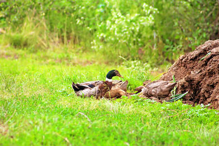 Brownn ducks wail in the village on green grass. Ducks on farm green field. Rural landscape Stock Photo