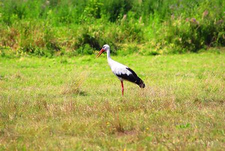 Stork is Walking on the grass in rural area. Open Beak Stock Photo