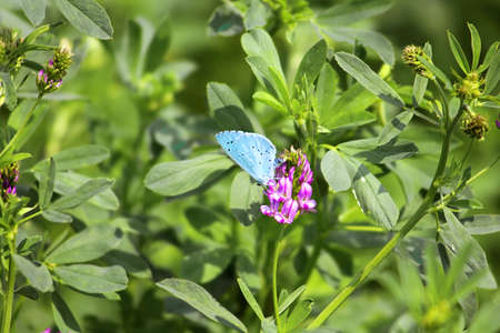 sickle: Blue butterfly on lucerne flower Stock Photo