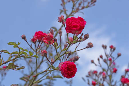 Red roses on the bush over blue sky