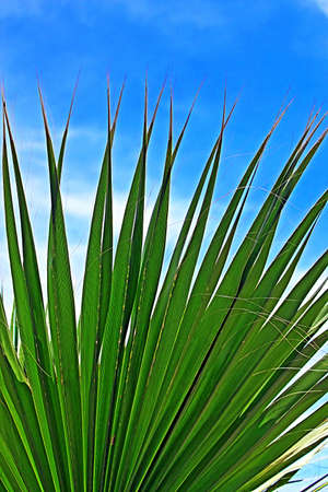 subtropical: Leaf of a palm tree against the clear blue sky Stock Photo