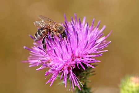 Bee on the purple flower
