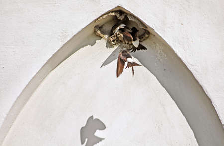 Nest of swallows in the arch of the building Stock Photo