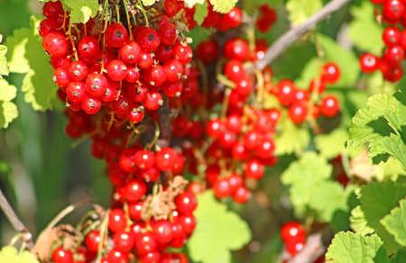 Red currant berries in the garden Standard-Bild