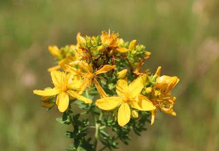remedial: St Johns-wort or common Saint Johns wort , Hypericum perforatum Stock Photo