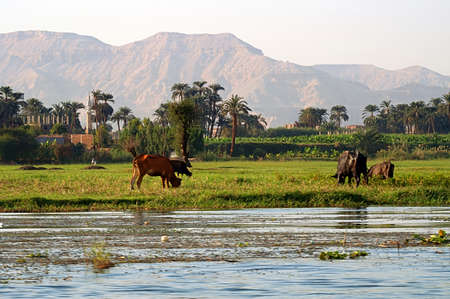 Cows on river bank Nile in Egypt. Life on the River Nile Banque d'images