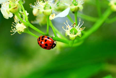 Ladybug on the apple tree in the spring