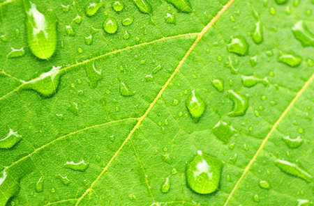 Rain drops on the leaf in the rainy weather (close up) Stock Photo