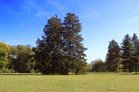 Old firs in park