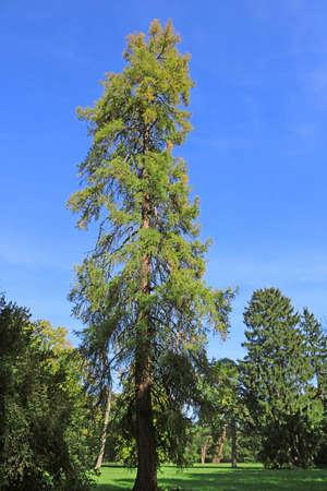 Old fir in park