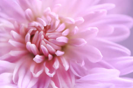 Pink chrysanthemum. Close up. Macro image Фото со стока