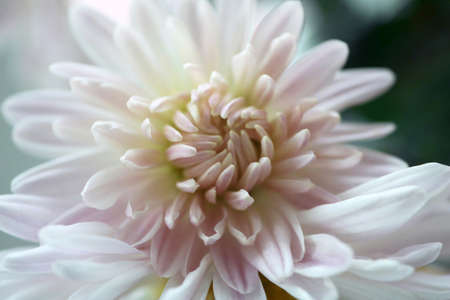 White chrysanthemum. Close up. Macro image