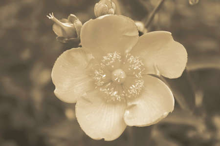 Flower with five petals in a summer garden. Monochrome image