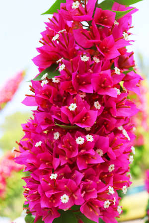 Flowers of blooming bougainvillea, lat. Bougainvillea. Purple bougainvillea flowers. Can be used as a background