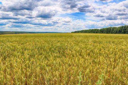 Campagne avec champ de blé et ciel nuageux Banque d'images