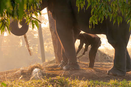 The reserve worker chains the elephant in the morning in Chitwan, Nepal