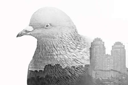 Double exposure made with city pigeon and view of the city with buildings, isolated. Ecological concept Foto de archivo