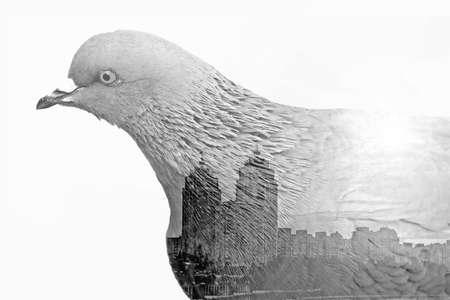 Double exposure made with city pigeon and view of the city with buildings, isolated. Ecological concept