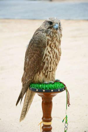 falcon for desert hunting arab tradition