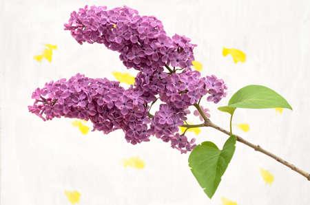 Rama de lila Borgoña sobre un fondo coloreado. Foto de archivo - 78964343