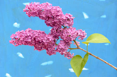 Burgundy lilac branch on a colored background. Stock Photo