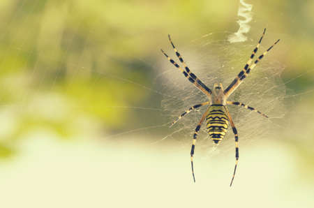 araneidae: Black and yellow striped spider on the web Stock Photo
