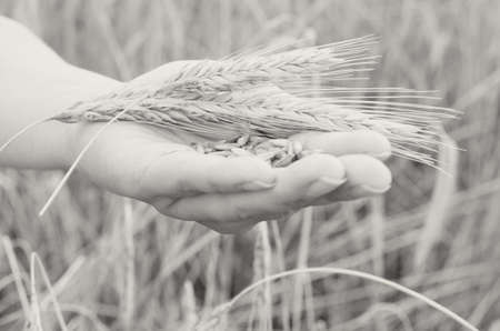 Hands gently pat the spikelets of wheat on a summer day