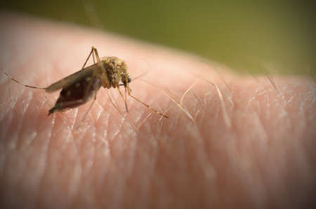 albopictus: The mosquito bites into the arm and the abdomen is filled with blood Stock Photo