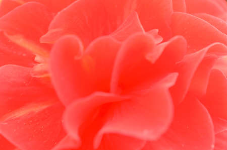 Revealed bud of red flower in different tonality close-up Stock Photo