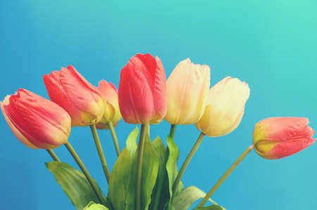 Gently pink and red tulips in a bouquet on a blue background