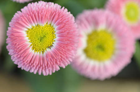 A rosy pink flower with a yellow center Stock Photo