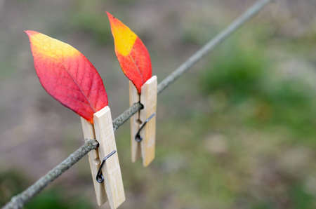 Red-yellow autumn leaves on a rope with clothespins. It looks like a candle flame