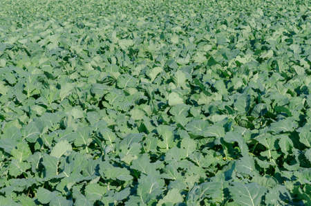 Agricultural field made of large green leaves. Texture.