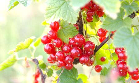 The red currant bunch on green leaves background under july sunlight photo