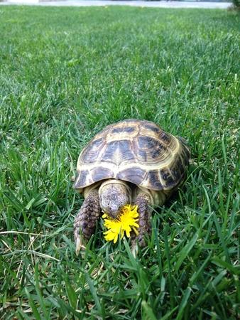 푸른 잔디에서 꽃을 먹는 거북이